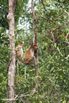 Proboscis Monkey (Nasalis larvatus) in a rainforest tree (Kalimantan, Borneo (Indonesian Borneo))