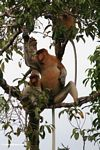Large-nosed Male Proboscis Monkey eating fruit in the rain forest (Kalimantan, Borneo (Indonesian Borneo))