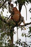 Large-nosed Male Proboscis Monkey eating fruit in the rainforest (Kalimantan, Borneo (Indonesian Borneo))