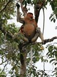 Domiant male Proboscis Monkey in tree (Kalimantan, Borneo (Indonesian Borneo))