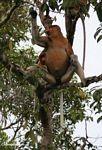 Dominant male Proboscis Monkey in tree (Kalimantan, Borneo (Indonesian Borneo))
