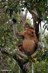 Domiant male Proboscis Monkey with females in tree eating fruit (Kalimantan, Borneo (Indonesian Borneo))