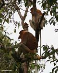 Male and female Proboscis Monkeys (Nasalis larvatus) in tree (Kalimantan, Borneo (Indonesian Borneo))