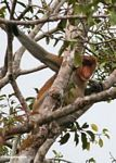 Dominant male Proboscis Monkey (Nasalis larvatus) in tree (Kalimantan, Borneo (Indonesian Borneo))