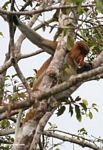 Adult male Proboscis Monkey in tree (Kalimantan, Borneo (Indonesian Borneo))