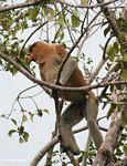 Adult male Proboscis Monkey in tree (Kalimantan, Borneo (Indonesian Borneo))