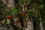 Red fruit on rainforest tree (Kalimantan, Borneo (Indonesian Borneo))