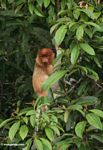 Female Proboscis Monkey (Nasalis larvatus) in tree (Kalimantan, Borneo (Indonesian Borneo))