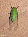 Bright green colored cicada (Kalimantan, Borneo (Indonesian Borneo))