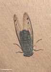 Brown and forest green colored cicada (Kalimantan, Borneo (Indonesian Borneo))