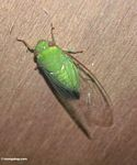 Bright green cicada (Kalimantan, Borneo (Indonesian Borneo))