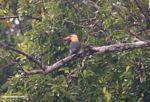 Stork-billed Kingfisher (Pelargopsis capensis) in Borneo (Kalimantan, Borneo (Indonesian Borneo))