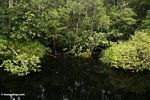 Swamp forest along blackwater river to Camp Leaky (Kalimantan, Borneo (Indonesian Borneo))