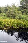 Water lillies and Pandanus palms along blackwater river leading to Camp Leaky (Kalimantan, Borneo (Indonesian Borneo))