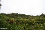 Riverside meadow near blackwater river in Borneo (Kalimantan, Borneo (Indonesian Borneo))