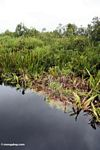 Water lillies and Pandanus palms along blackwater river (Kalimantan, Borneo (Indonesian Borneo))