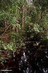 Blackwater swamp in Borneo (Kalimantan, Borneo (Indonesian Borneo))