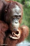 Rehabilitated orangutan lost in thought (Kalimantan, Borneo (Indonesian Borneo))
