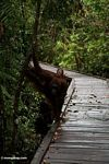 Rehabilitated mother and baby orangutans on boardwalk at Camp Leaky (Kalimantan, Borneo (Indonesian Borneo))