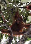 Baby orangutan playing in tree (Kalimantan, Borneo (Indonesian Borneo))