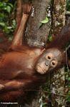 Young orang (Kalimantan, Borneo (Indonesian Borneo))