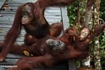 Family of orangs laying on boardwalk (Kalimantan, Borneo (Indonesian Borneo))