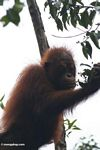 Young orang feeding on buds (Kalimantan, Borneo (Indonesian Borneo))