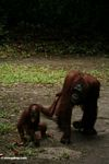 Mother orangutan walking with baby (Kalimantan, Borneo (Indonesian Borneo))