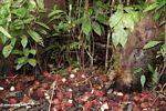 Bornean Bearded Pig (Sus barbatus) consuming rambutan fruit (Kalimantan, Borneo (Indonesian Borneo))