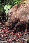The Borneo Bearded Pig eating rambutan fruit (Kalimantan, Borneo (Indonesian Borneo))