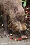 The Bearded Pig of Borneo, eating rambutan fruit (Kalimantan, Borneo (Indonesian Borneo))