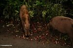 Bearded pigs (Sus barbatus) feeding on rambutan (Nephelium lappaceum) (Kalimantan, Borneo (Indonesian Borneo))