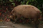The Bearded Pig of Borneo feeding on fallen fruit (Kalimantan, Borneo (Indonesian Borneo))