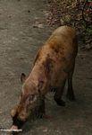 The Bearded Pig of Borneo (Kalimantan, Borneo (Indonesian Borneo))
