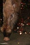 Borneo makan babi berjenggot pada rambutan (Kalimantan, Borneo (Borneo Indonesia))