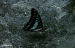 Blue and black butterfly in Borneo; wings closed (Kalimantan, Borneo (Indonesian Borneo))