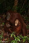 Mother orangutan with baby on forest floor (Kalimantan, Borneo (Indonesian Borneo))