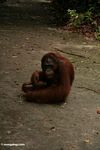 Orang sitting on ground with ribbon in hand (Kalimantan, Borneo (Indonesian Borneo))