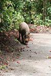 Borneo bearded pig (Sus barbatus) feeding on fallen rambutan fruit (Kalimantan, Borneo (Indonesian Borneo))