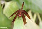 Grasshawk dragonfly (Neurothemis fluctuans) (Kalimantan, Borneo (Indonesian Borneo))
