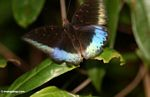 Blue and black butterfly in rainforest of Borneo (Kalimantan, Borneo (Indonesian Borneo))
