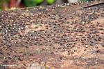 Mass of termites (Kalimantan, Borneo (Indonesian Borneo))
