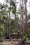 Staff preparing the feeding platform at the  Orangutan Research and Rehabilitation Center (Kalimantan, Borneo (Indonesian Borneo))