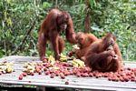 Orangutans on feeding platform in Tanjung Puting National Park (Kalimantan, Borneo (Indonesian Borneo))