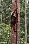 Orangutan climbing a forest liana (Kalimantan, Borneo (Indonesian Borneo))