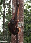 Orangutan hanging on a forest liana in Indonesia's Tanjung Puting National Park (Kalimantan, Borneo (Indonesian Borneo))