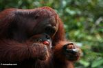 Red orangutan makan buah rambutan (Kalimantan, Borneo (Borneo Indonesia))