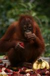 Young orangutan eating rambutan fruit (Kalimantan, Borneo (Indonesian Borneo))