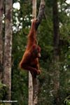 Young orang-utan  in Tanjung Puting National Park (Kalimantan, Borneo (Indonesian Borneo))