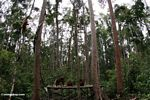 Group of orangutans on feeding platform in Tanjung Puting National Park (Kalimantan, Borneo (Indonesian Borneo))